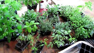 Dividing & Potting Up Tomatoes, Peppers, Herbs & Perennials: Seed Starting Indoors Series Conclusion