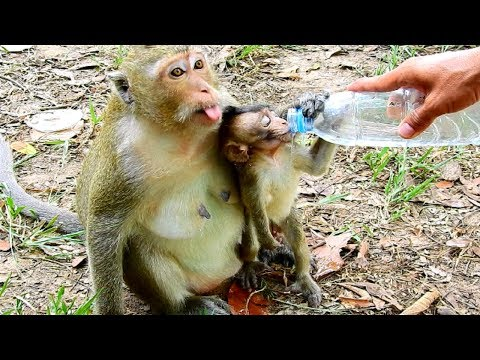 Sharing Water-Sharing Life! Poor cute Lola baby monkey, Her very pity Princess!