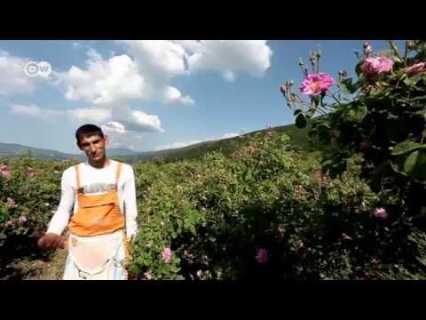 Bulgarien: Ernte im Tal der Rosen | Wirtschaft kompakt