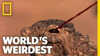 World's Weirdest - Blood-Squirting Lizard