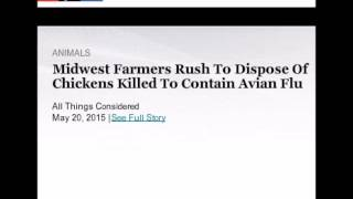 MIDWEST FARMERS RUSH TO DISPOSE OF AVIAN FLU CHICKENS KILLED IN ATTEMPT TO CONTAIN BIRD FLU!