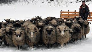 Kako izgleda suvremena štala za ovce