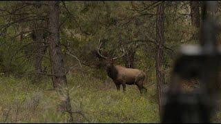 Montana Elk Hunt | Bugling Frenzy | Raised Hunting
