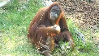 Baby Orangutan Khaleesi touches grass for the first time