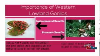 Critically Endangered Western Lowland Gorillas