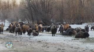 Historic Bison Release in Alaska - dooclip.me
