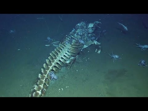 Octopuses Eat Whale Carcass On Seabed