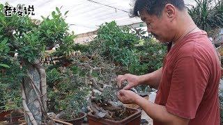 大叔为何对这株植物频频下手原来辣手摧花也能助其发育!