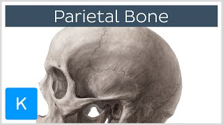 Parietal Bone - Definiton, Location & Sutures - Human Anatomy | Kenhub