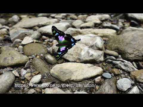 ミイロタイマイの飛翔 Graphium weiskei