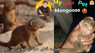 My new pet Mongoose (نیولا)