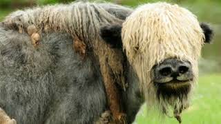 Yak Facts  Interesting Facts about Yak  Facts about Yak