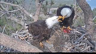 4-15-19 Big Bear Eagles-Mom Brings In Food For The Eaglets