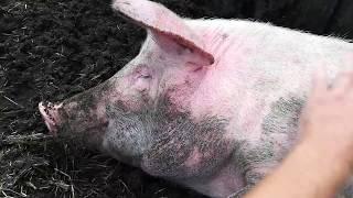 В гостях у Свинки Пеппи/Только домашние свинки/хрюшки часть 2. Не злые свинки-это деревня детка)