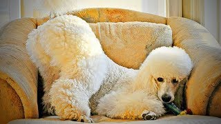 Funny Poodles 🐩 Cute Fluffy Poodles Playing (Part 2) [Funny Pets]