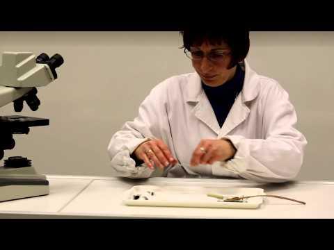 A pinworm betegség életciklusa