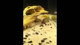 Polypterus Senegalus (Bichir) Eating Night Crawler