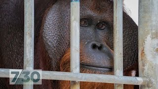 For six years, this orangutan lived in a tiny cage. Now he's nearly free | 7.30
