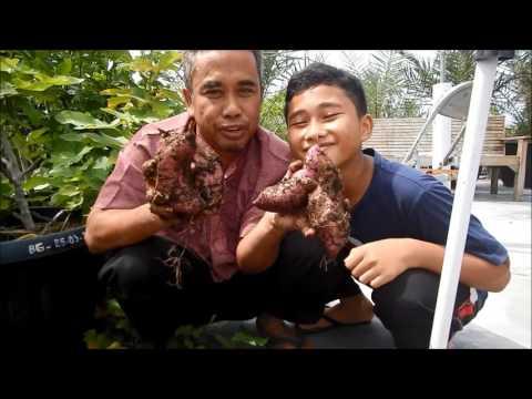 Video Mencengangkan, Menanam ubi rambat jepang dalam pot hasilnya luar biasa