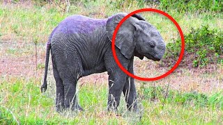 Baby Elephant Spotted Wandering The Plains Without A Trunk. Rescuers Fearful Whether It Can Survive