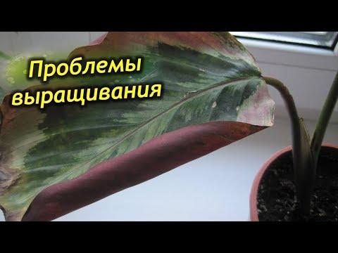 Сохнут и скручиваются листья у Калатеи, почему и что делать!