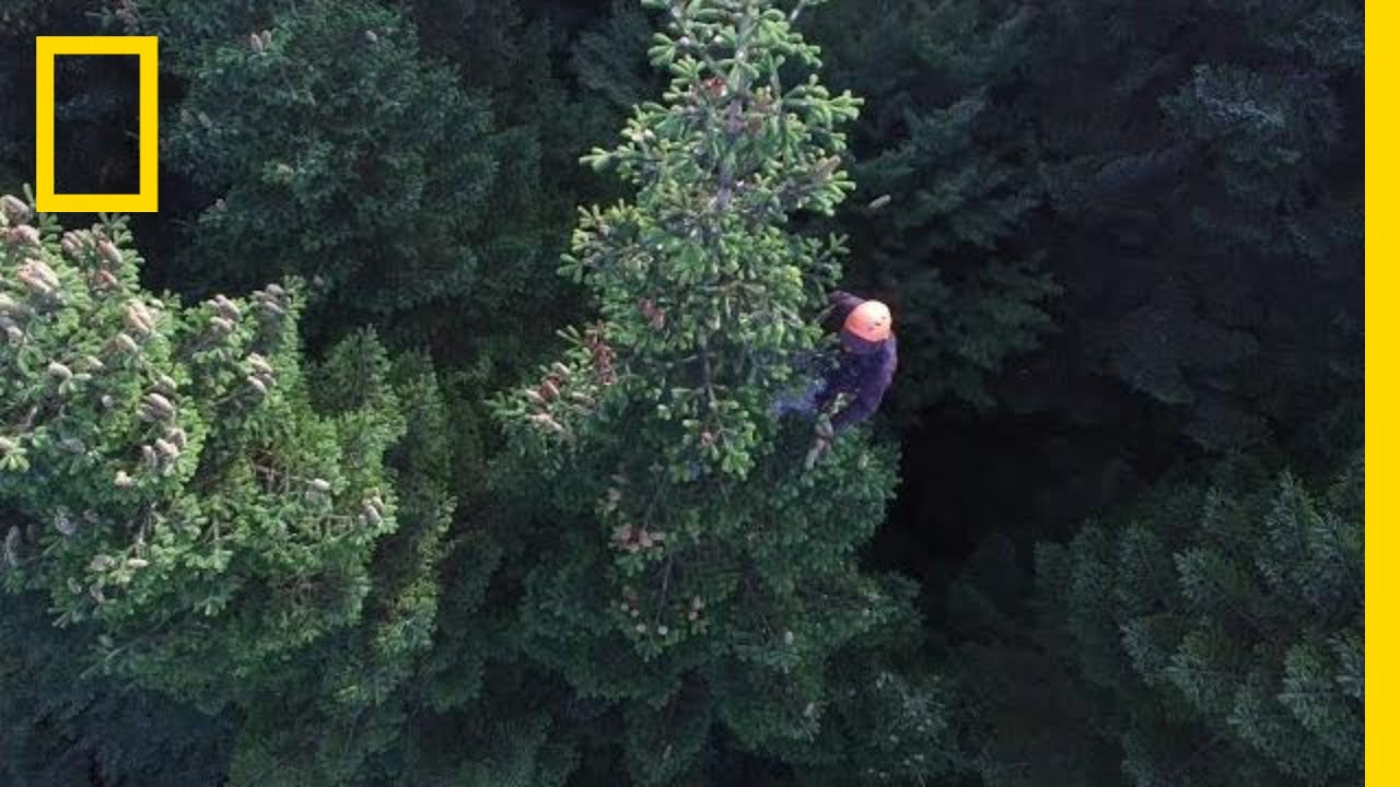 Christmas Tree Harvesting Is Gravity-Defying (and Sometimes Illegal) | National Geographic thumbnail