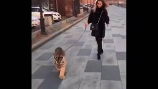 DEITA.RU - девушка выгуливает тигра на Набережной Цесаревича во Владивостоке