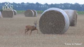 Roe buck hunting in Hungary
