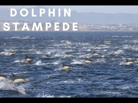"One Cool Thing:  A ""Stampede"" of Dolphins!"