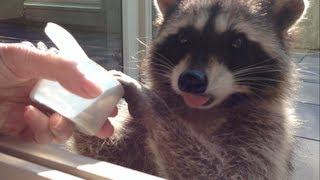 preview picture of video 'Fred the Friendly Raccoon - Part 5'