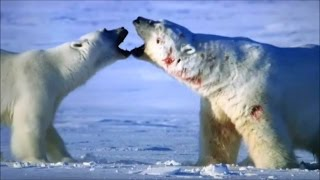 The world's largest polar bear fighting to the death