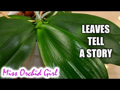 , title : 'How to know what's wrong with a Phalaenopsis Orchid from its leaves