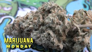Gorilla Glue #4 Marijuana Monday by Urban Grower