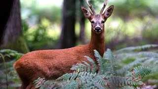 Calling Roe Buck With Buttolo Call 2016