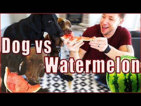 Dog Vs Watermelon  |  Foster Puppy's Funny First Taste!