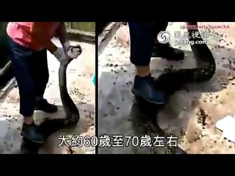 Thót tim cảnh người phụ nữ cứu con dê từ miệng trăn khổng lồ