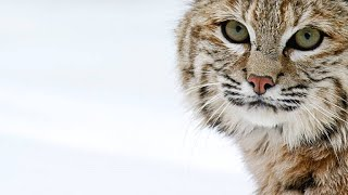 A Bobcat Uses a Different Hunting Strategy to Catch a Duck