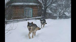 Наблюдение за дикими волками в деревне с вышки [Чернобыльская зона] | Film Studio Aves