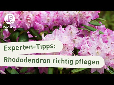 Rhododendron Pflege: Rhododendron düngen, ausbrechen & gießen (Experten-Tipps)