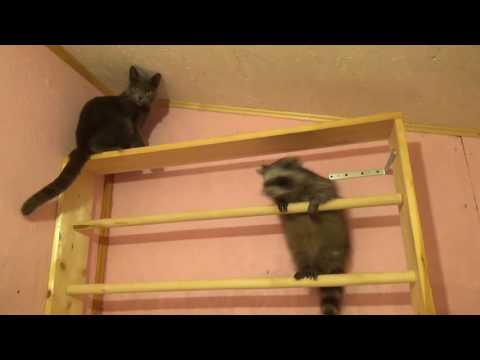 Cat vs Racoon