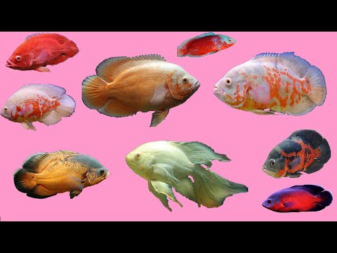 Oscar Fish - Wholesale Price for Oscar Fish in India