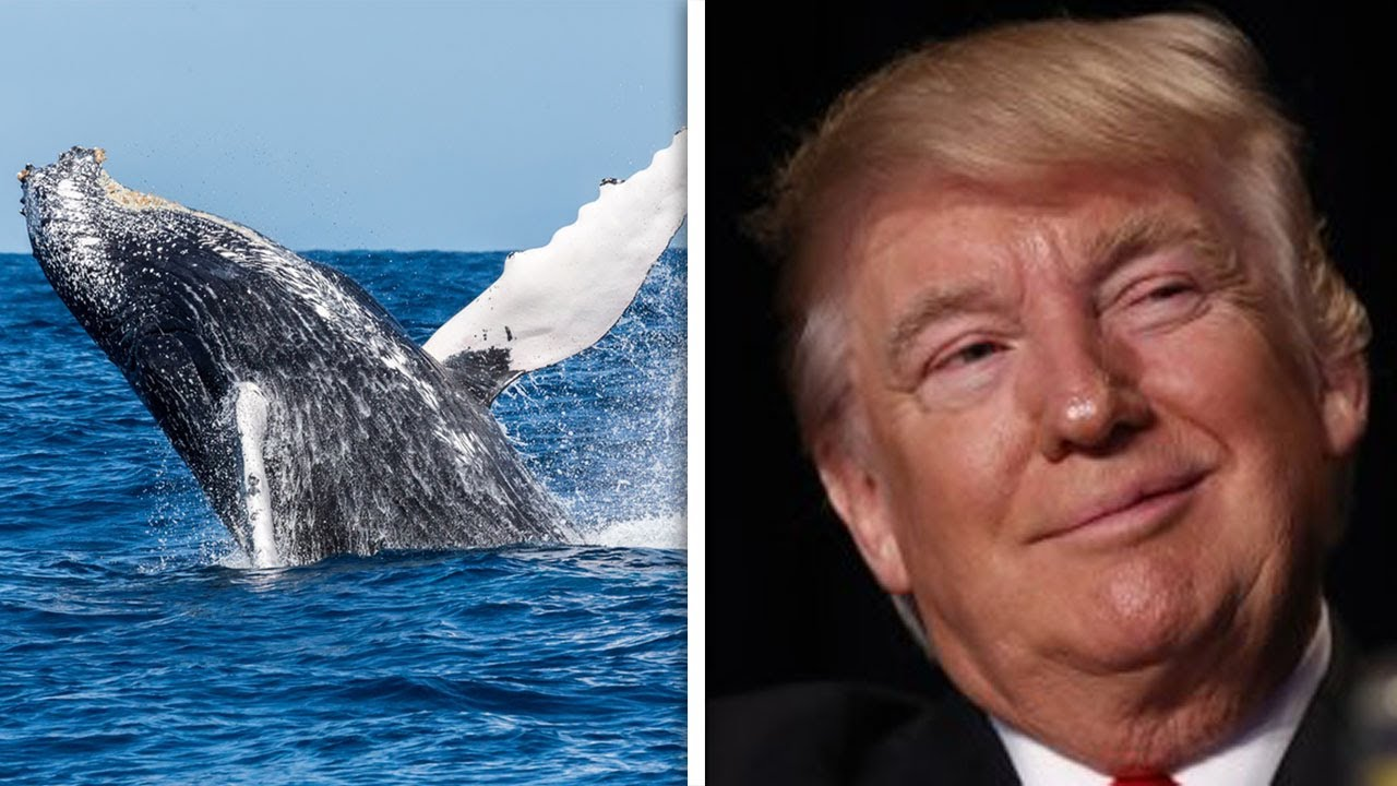Trump Administration Makes It Easier To Kill Endangered Whales thumbnail
