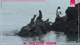 زيادة قياسية في أعداد طيور البطريق في جزر غالاباغوس بالإكوادور