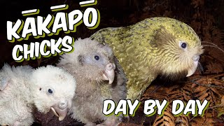Kakapo chicks day by day