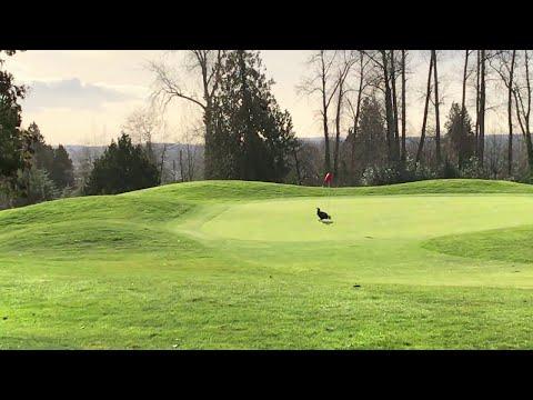 Kotka auttaa golffaria – Hole in One!