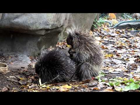 How do porcupines fuck