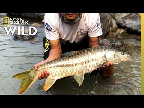 This Sacred Golden Fish Thrives in Bhutan | Nat Geo Wild