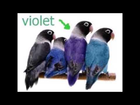 mp4 Lovebird Vio Perso, download Lovebird Vio Perso video klip Lovebird Vio Perso