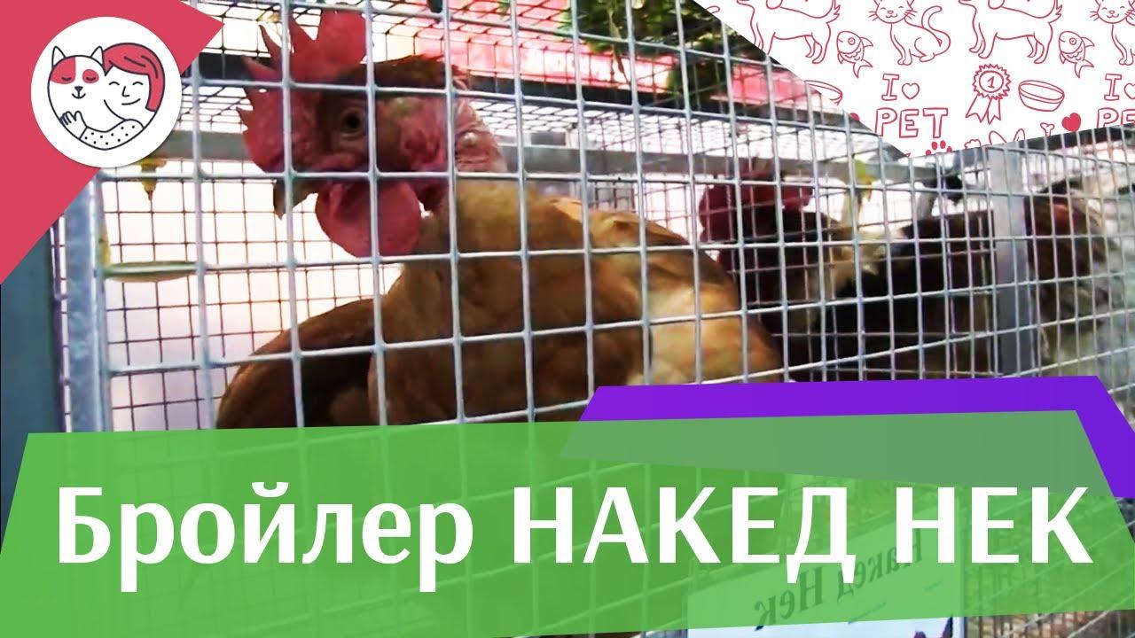 БРОЙЛЕР НАКЕД НЕК Агропромышленная выставка Золотая осень 2016 iLikePet
