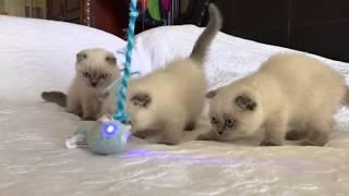 Смешные красивые шотландские вислоухие котята играют - коты и кошки - смешное видео 2019